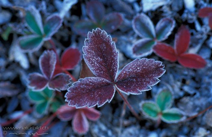 Marko Pflanzen Frost