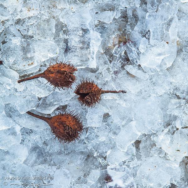 Makro Nussschale Eis