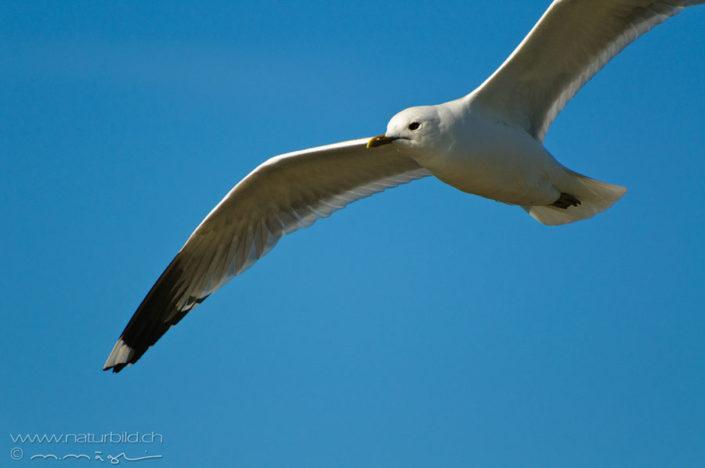 Silbermoewe Vogel Flug