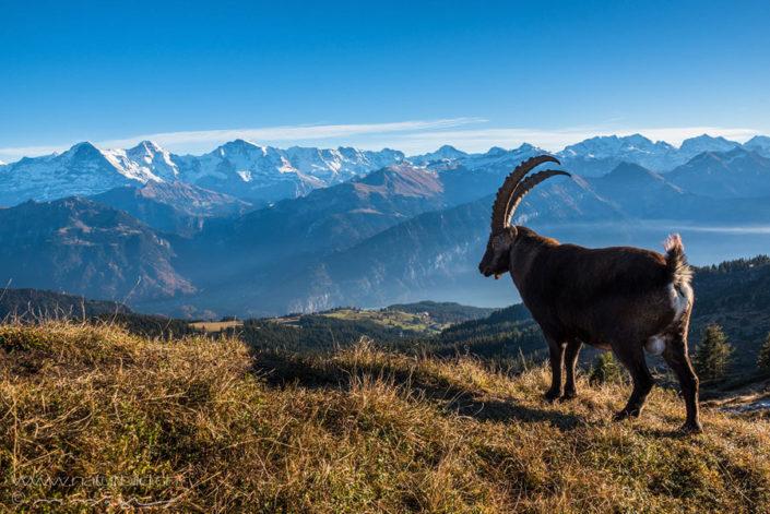 Steinbock Niederhorn Jungfrau