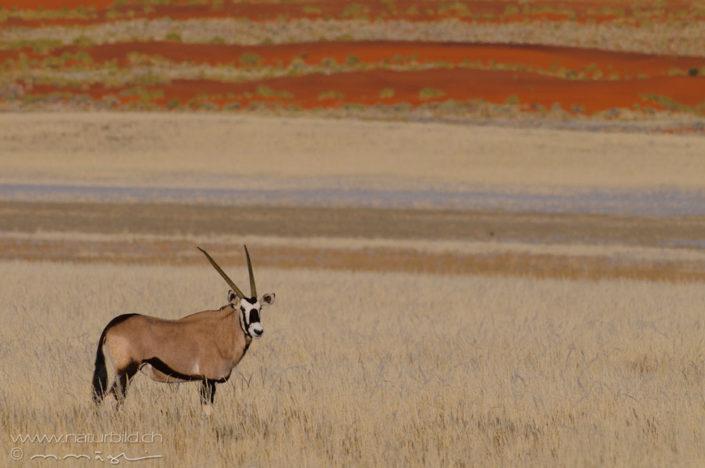 Oryx Huftier Afrika