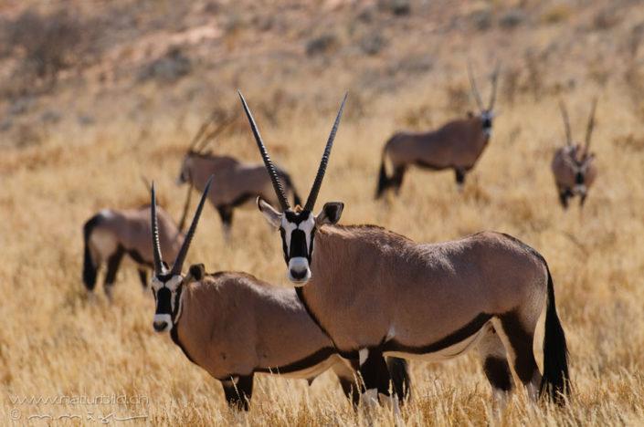 Oryx Afrika Hörner