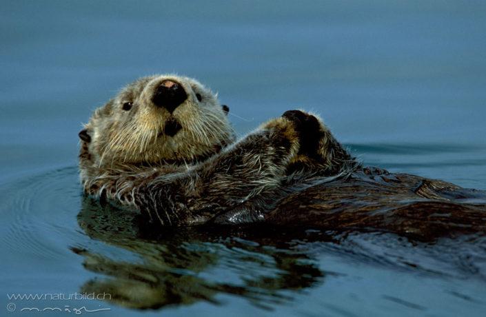 Otter schwimmend Kopf