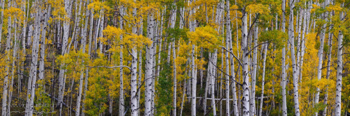 Panorama Colorado Wald Baumstaemme