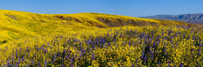 Panorama Kalifornien bluehende Wiese