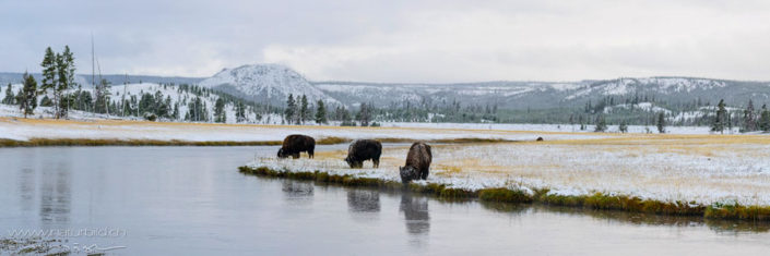 Panorama Yellowstone Bisons Winter Nordamerika