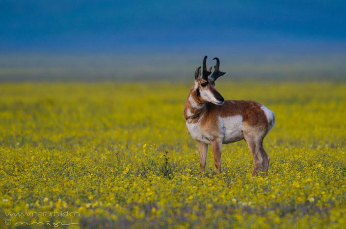 Pronghorn Antilope Huftier Weise