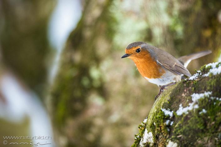 Rotkehlchen Vogel klein