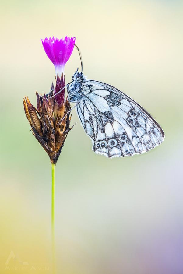 Schmetterling Schachbrettfalter Schweiz