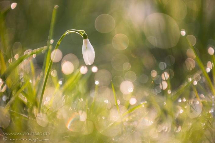 Schneegloeckchen Pflanzen Blume