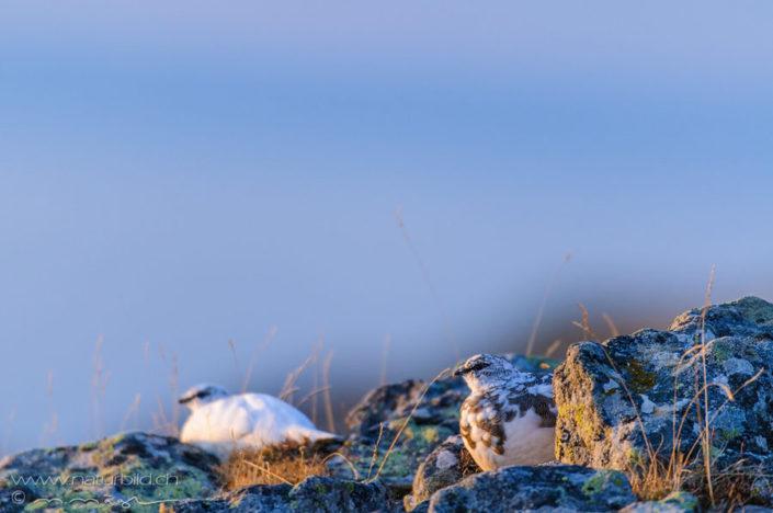 Schneehuhn weiss Vogel