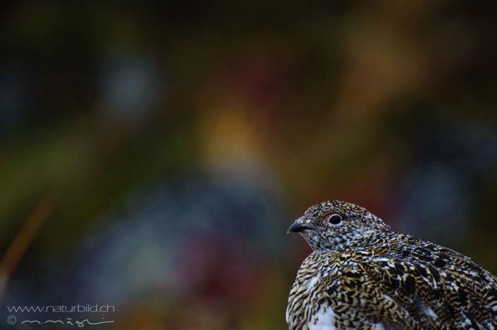 Schneehuhn Kopf Vogel