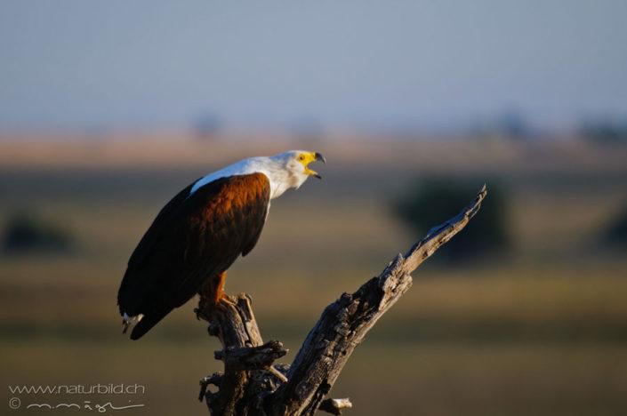 Schreiseeadler Vogel Afrika