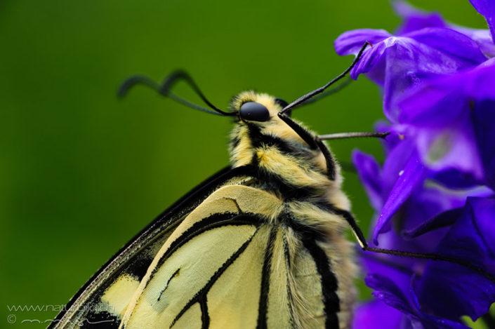 Schwalbenschwanz Schmetterling Kleintier