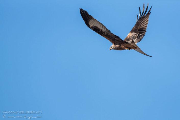 Schwarzmilan fliegend Vogel
