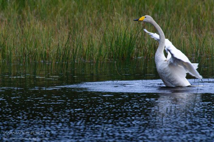 Singschwan Flug Wasser