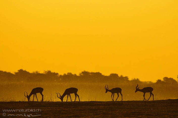 Springbock Silhouette Afrika