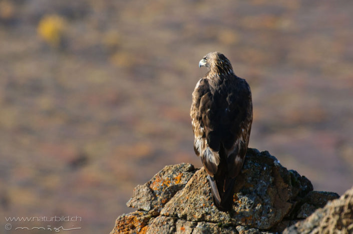 Steinadler Raubvogel sitzend