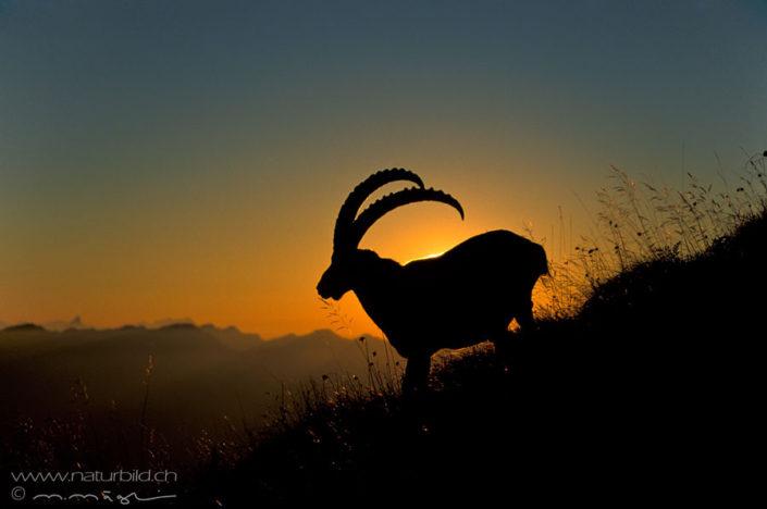 Steinbock Abendsonne Silhouette