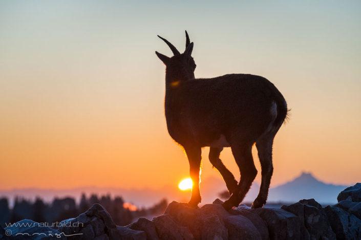 Steinbock Abendsonne Stienwild