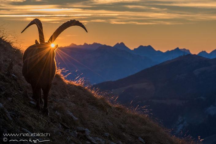 Steinbock Sonnenuntergang Schweiz