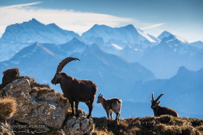 Steinbock Fels Berge