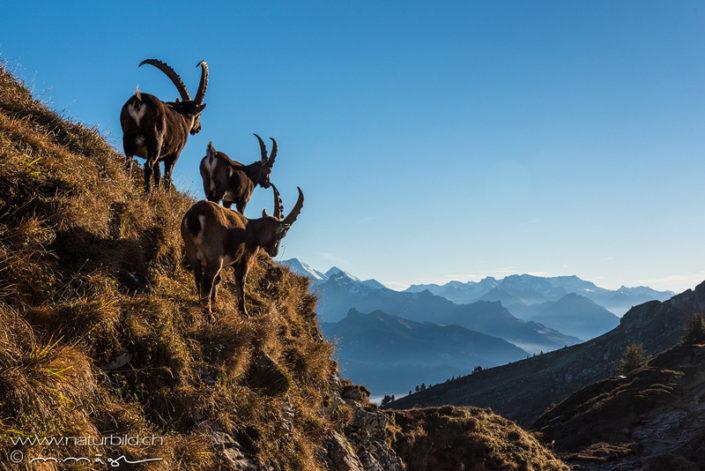 Steinbock Grat Berner Oberland