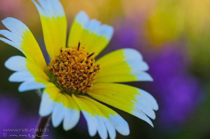 Weissspitzchen Blume gelb