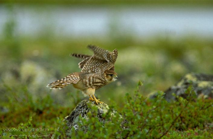 Turmfalke Anflug Vogel