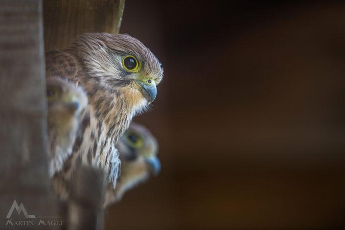 Turmfalke Greifvogel Jungtier