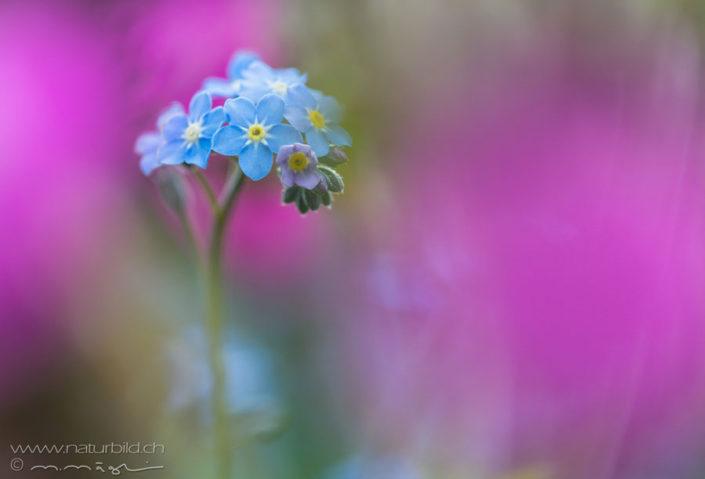 Vergissmeinnicht blau Blume