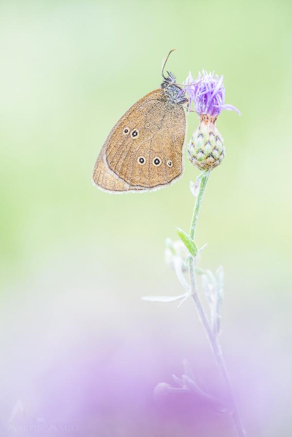 Schmetterling Waldvögelein Schweiz