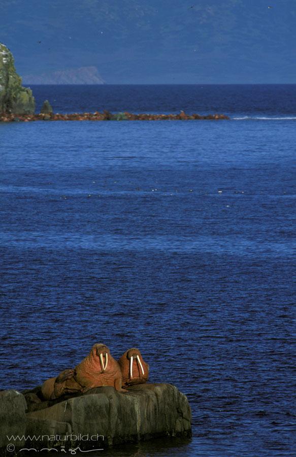 Walross Meerestier Zaehne