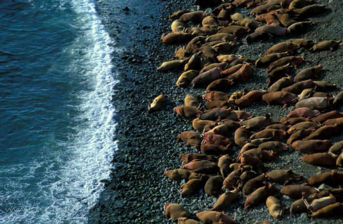 Walross Strand Meerestier