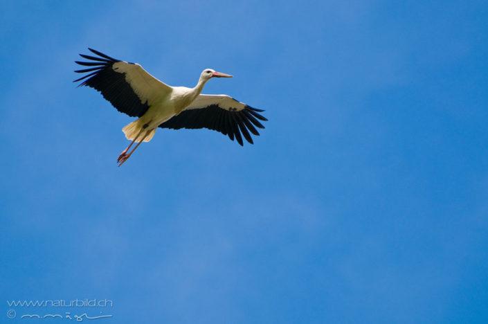 Weissstorch Flug Vogel