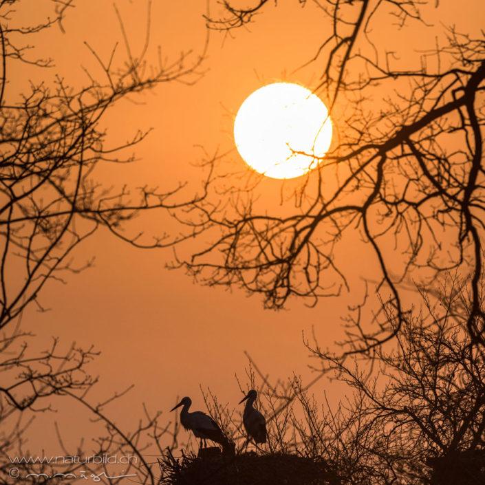 Weissstorch Vogel Sonnenuntergang
