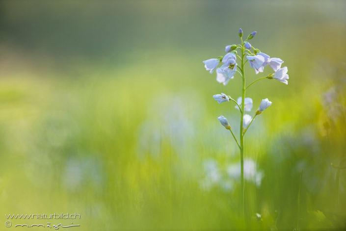 Wiesenschaumkraut Pflanze Blume