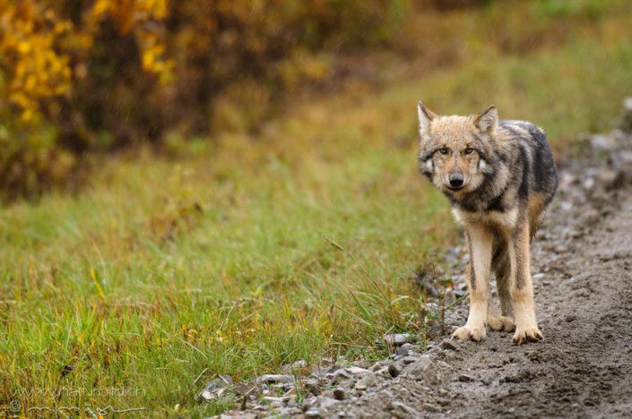 Wolf Weg Raubtier