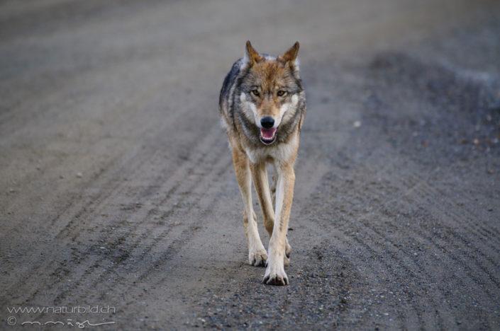 Wolf Raubtier Kopf