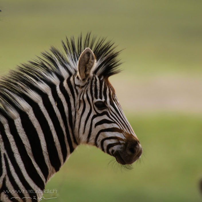 Zebra Kopf Nahaufnahme