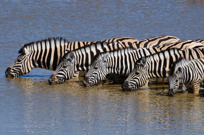 Zebra Afrika Fluss