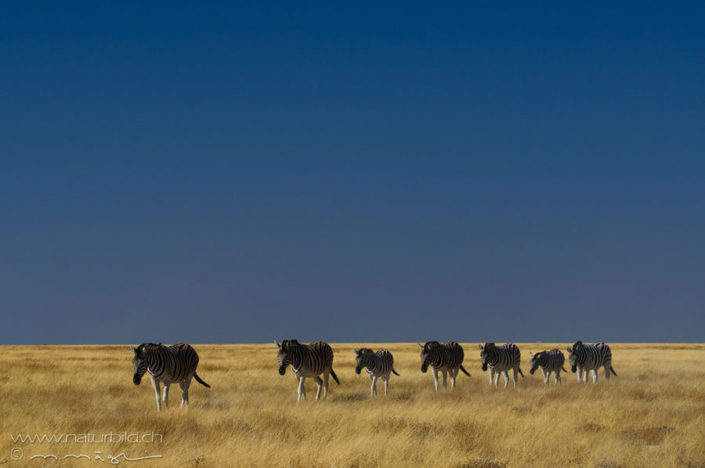 Zebra Karawane Steppe