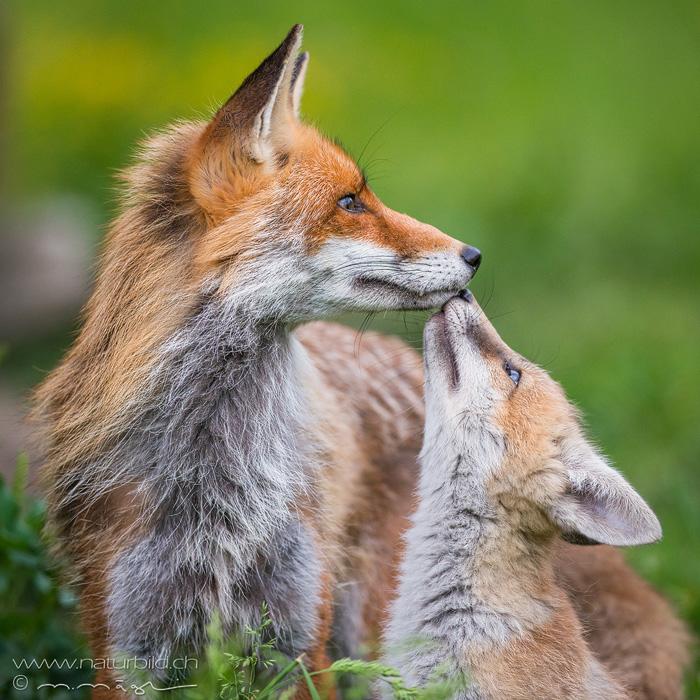 Fuchs Jungtier Kuss
