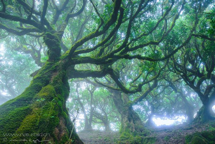 Madeira Fanal Loorbeerwald