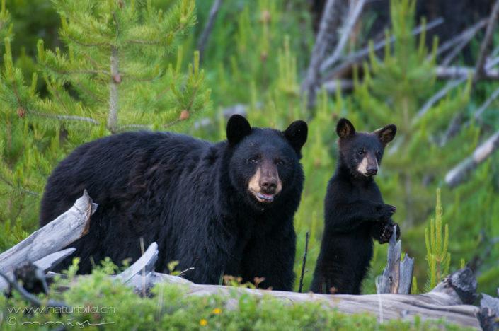 Schwarzbär Jungtier Yellowstone