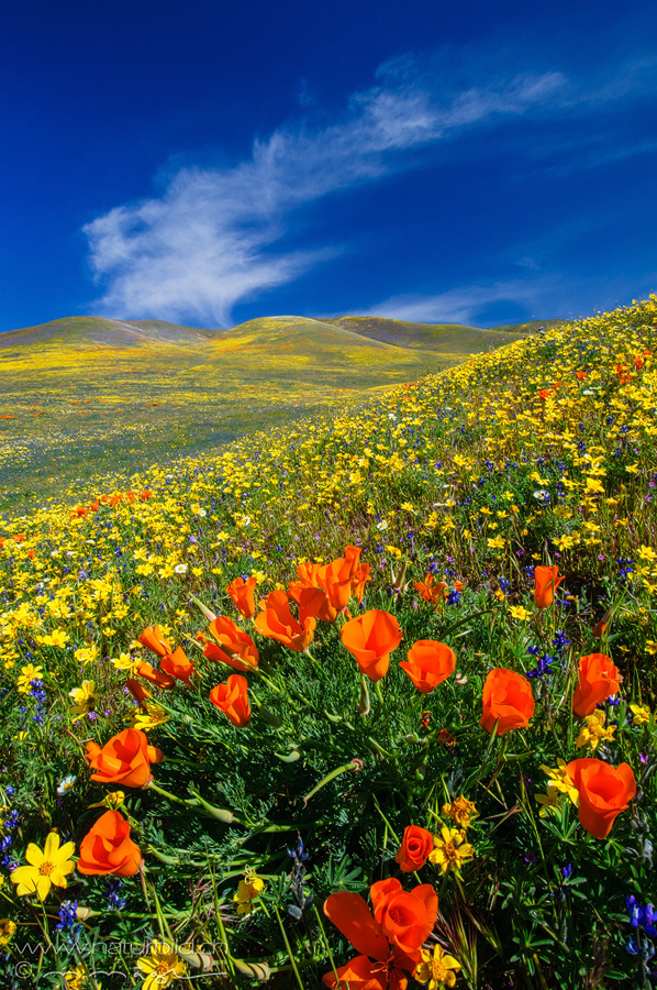 USA Theachapi Mountains Blumen