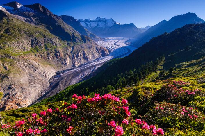 Aletsch Alpenrosen Gletscher