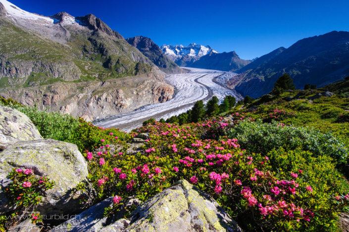 Aletschgletscher Alpenrosen Wallis