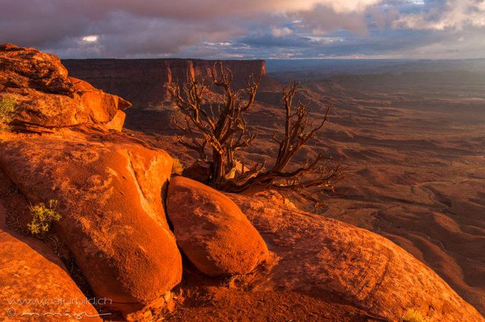 Canyonlands NP Baum Sonnenaufgang