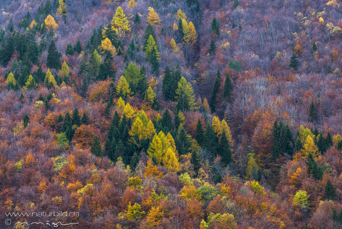 Derborence Herbst Wald